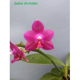 Phalaenopsis Ember Yaphon (FS)