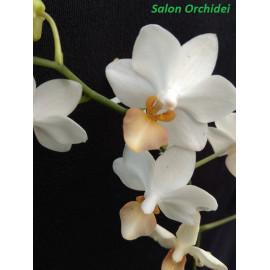 Phalaenopsis Liu's...