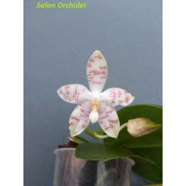 Phalaenopsis (speciosa x...