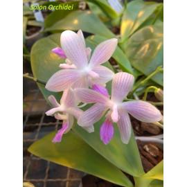Phalaenopsis Janine...