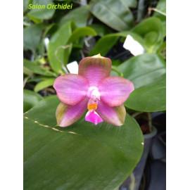 Phalaenopsis (violacea...