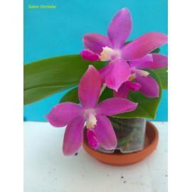 Phalaenopsis Yaphon Rich...