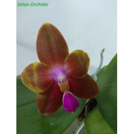Phalaenopsis bellina Blue x...