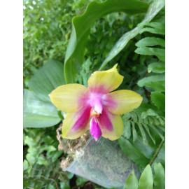 Phalaenopsis Yungho...