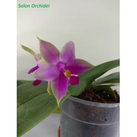 Phalaenopsis Samera Red (FS)