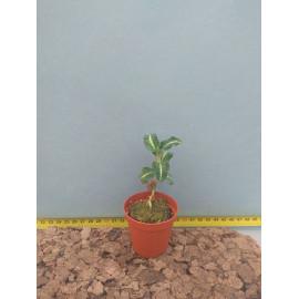 Goodyera macrantha (FS)