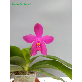 Phalaenopsis Chienlung Red...