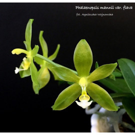 Phalaenopsis mannii var....
