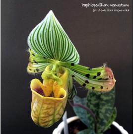 Paphiopedilum venustum (FS)