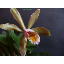 Cattleya forbesii (FS)