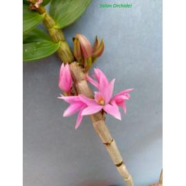 Dendrobium victoria reginae...