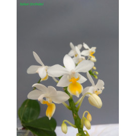 Phalaenopsis equestris var....