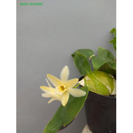 Dendrobium platycaulon (FS)