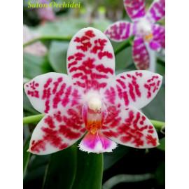 Phalaenopsis Natasha...