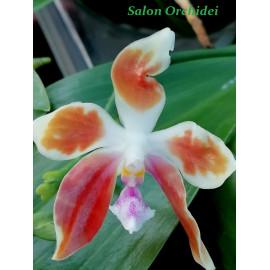 Phalaenopsis (micholitzii x...