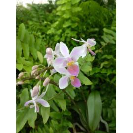 Phalaenopsis (lindenii x...