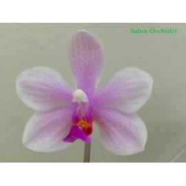 Phalaenopsis wilsonii x...