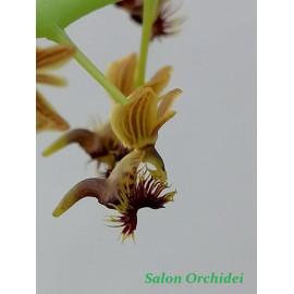 Ornitochilus difformis (FS)