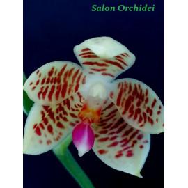 Phalaenopsis maculata x San...