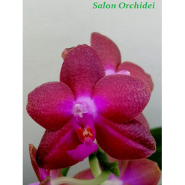 copy of Phalaenopsis...