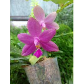 Phalaenopsis violacea...