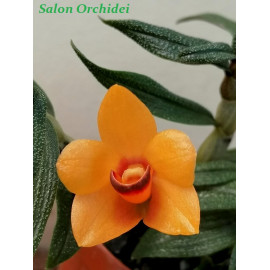 copy of Dendrobium...