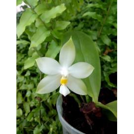 Phalaenopsis bellina var....