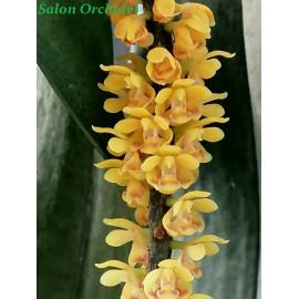 Pomatocalpa spicata (FS)