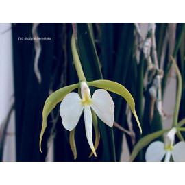 Epidendrum parkinsonianum (FS)