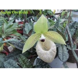 Paphiopedilum malipoense (FS)