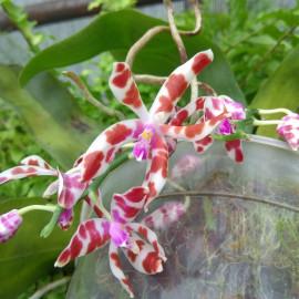 Phalaeopsis mariae (FS)