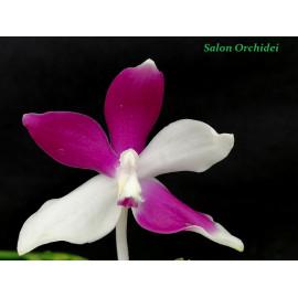 Phalaenopsis speciosa Blue...