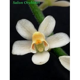Chiloschista usneoides (FS)