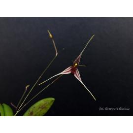 Pleurothallis claviculata (FS)