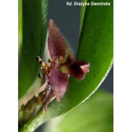 Pleurothallis rabei (FS)