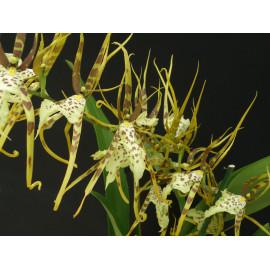 Brassia Senne Rex (Brs....