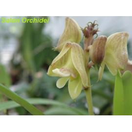 Polystachya galeata (FS)