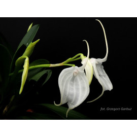 Masdevallia tovarensis (FS)