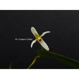 Pleurothallis (Ancipitia)...