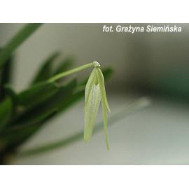 Barbosella cucullata (FS)