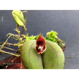 Lepanthes manabina (FS)