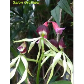 Epidendrum lancifolium (FS)