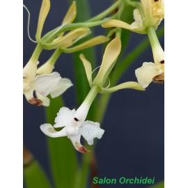 Epidendrum englerianum alba...