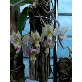 Phalaenopsis finleyi (FS)