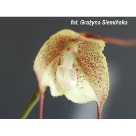 Dracula gaskelliana (FS)