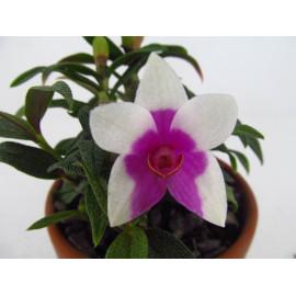 Dendrobium (cuthbertsonii x...