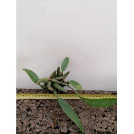 Trichopilia sanguinolenta (FS)
