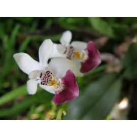 Phalaenopsis parishii (FS)