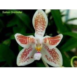 Phalaenopsis speciosa Red x...
