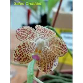 Phalaenopsis gigantea Jumbo...